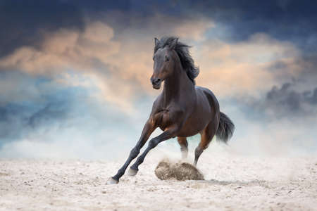 Bay stallion with long mane run fast against dramatic sky in dust