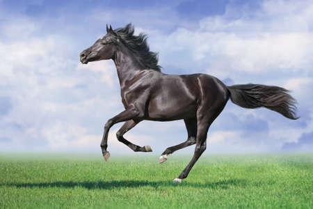 Black Horse run gallop on spring green meadow