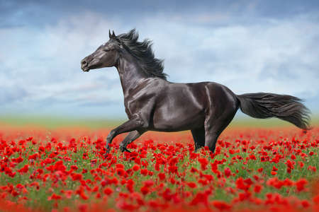 Black horse free run gallop in red poppy flowers Imagens