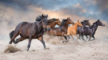 Horses with long mane  run gallop in desert dust Imagens