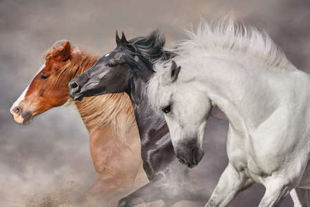 Horses with long mane run gallop in desert dust