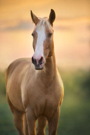 Palomino horse trotting in meadow at sunset light Imagens