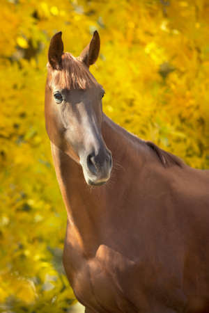 Red horse portrait standing against fall yellow trees