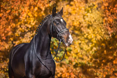 Horse in bridle against yellow and red autumn trees