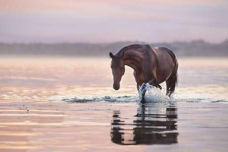 Bay stallion walk in water at sunlight