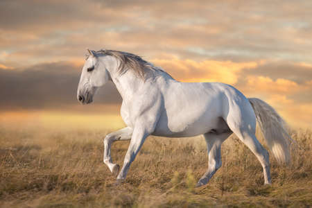Cream horse in motion at sunset light