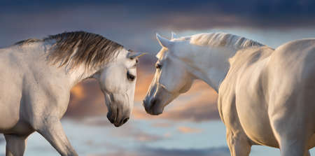 Two white horse with long mane run free against sunset sky Stockfoto