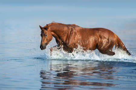 Red beautiful stallion run gallop in water with splash Stockfoto