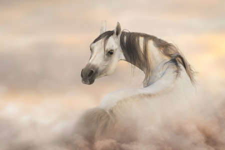 Gray arabian horse run free on desert dust Stockfoto