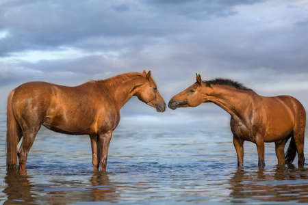 Beautiful red and bay horse portrait in water