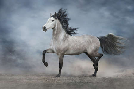 White andalusian horse portrait in motion isolated on dark background. Black and white Stockfoto