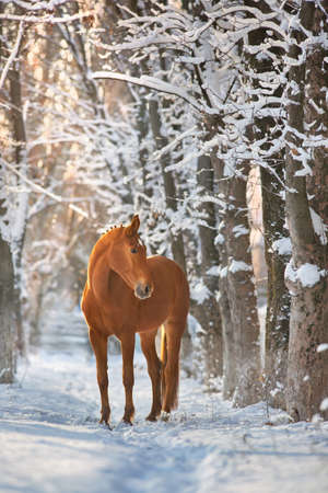 Red Horse run gallop in winter snow wood landscape