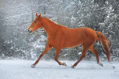 Black stallion in winter snow wood landscape