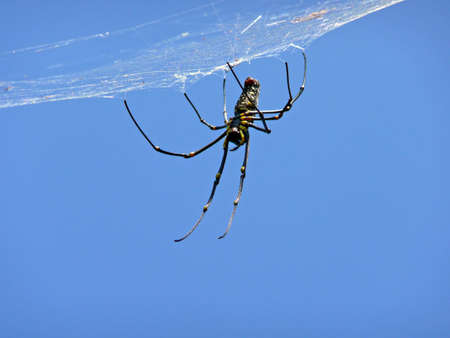 wood spider: Giant Wood Spider waiting for prey in its web Stock Photo