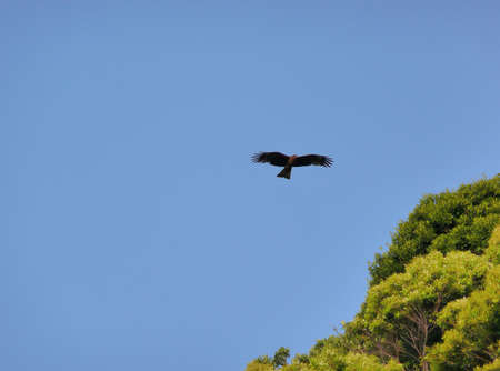 A Black Kite soaring across a blue sky in search of prey photo