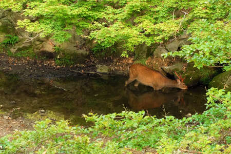 A Sika deer drinking from a creek photo