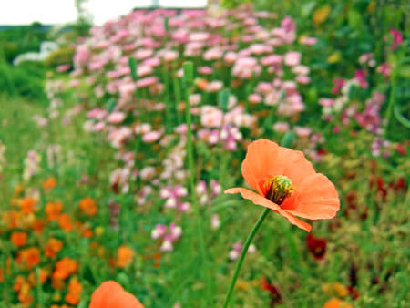 An orange poppy amid a bed of orange and pink flowers Stock Photo - 7532206