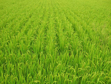 A field of ripe, golden rice and green leaves photo