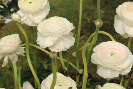 group of  Ranunculus asiaticus White flowers with  tightly clustered petals