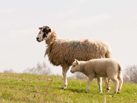 ovejitas: Ovejas salvajes en un campo