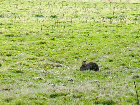 A peaceful rabbit grazes on a field in the distance. Stock Photo