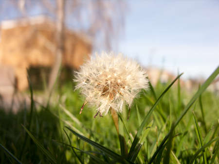 floating: A gorgeous dandelion.