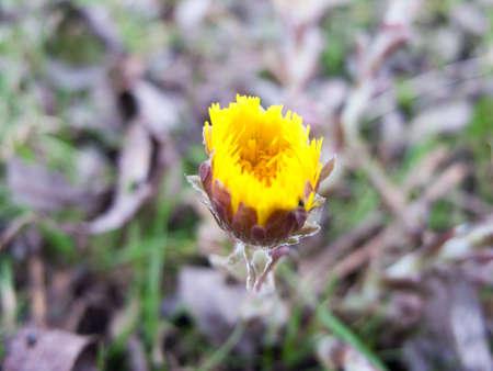 grass close up: A beautiful yellow bud. Stock Photo