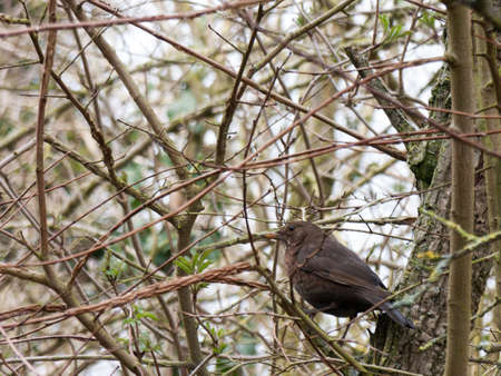 A lady blackbird perched on a branch. Stock Photo