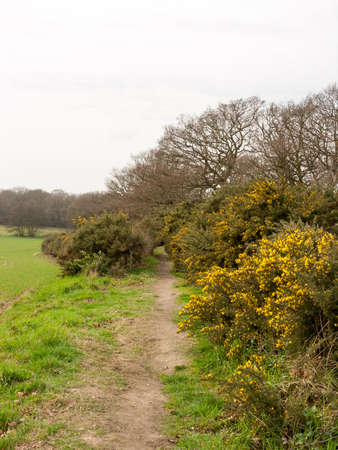 dazzling: A Pathway Near the Fields with Gorse