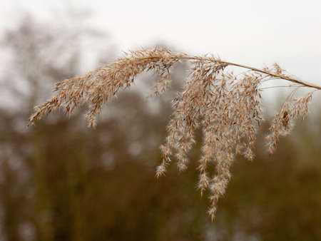 common reed: A shot of a crisp hanging reed.