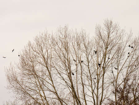 A murder of crows departing together from a dead tree