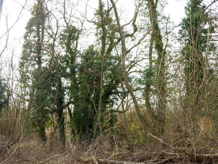end of the trail: Some tall trees in the wooded area of the Wivenhoe lakes. Stock Photo