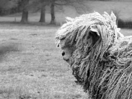 A sideways shot of a sheep with lots of baggy strands and attitude