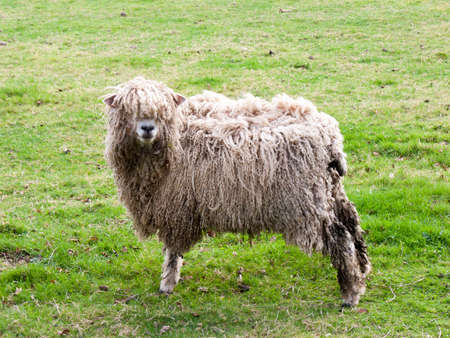 A standing sheep Stock Photo