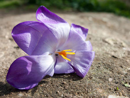 A gorgeously composed shot of a plucked purple and orange flower head on a soil background