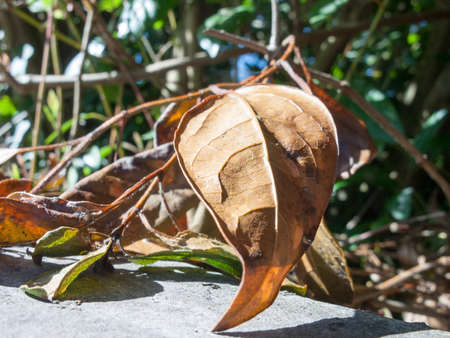 Dead leaf in the summer sun