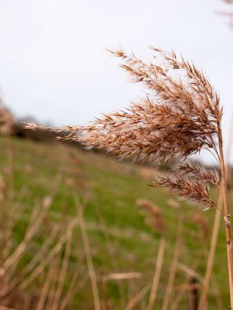 wispy: Beautiful wispy reeds on a glorious day
