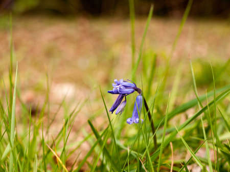 An awesome macro of a bluebell on its own, isolated and with nobody