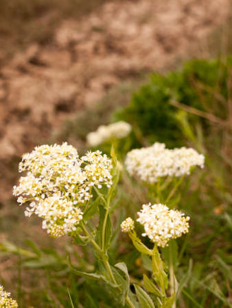 Cow parsnip Weed. Poisonous plant. Heracleum. Big hogweed Stock Photo