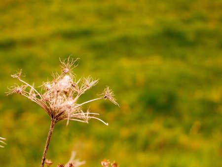 Dead flower head stalk and stem brown aged in field meadow