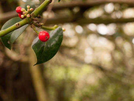 Tree Branch With red Berries and green leaves