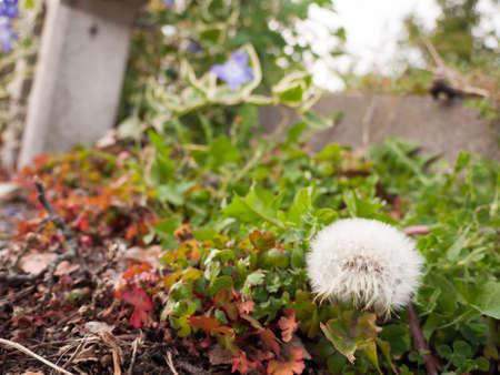 Dandelion. Dandelion fluff. Dandelion tranquil abstract closeup art background. dandelion air, white, beautiful meadow flower