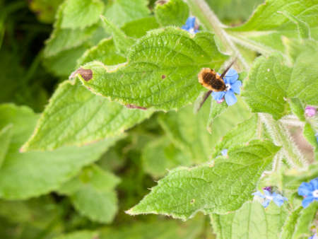 a bee in motion above a plant its wings moving as it collects and harvests the pollen of a blue flower head small with big green leafs in sharp detail in spring Stock Photo