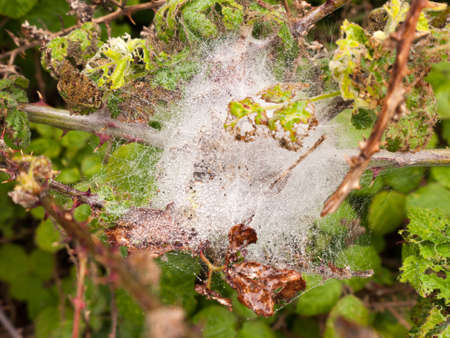 a white spider web silk web full of ice and bubbles of water after a rain pour down on a wet overcast spring day with twigs and leaves in light Stock Photo
