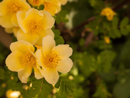 beautiful and stunning soft yellow small roses poking out in this macro of a rose plant with leaves making a blur background bokeh in spring day light in shade