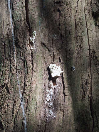 coral bark: A Small Clump of White Fungus Growing on the Side Bark of A tree with Cracks and Streaks and Texture in Spring