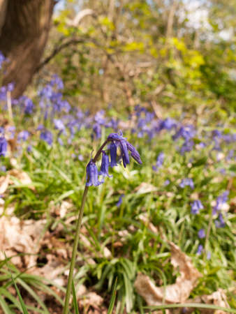 a single isolated bluebell looking very pretty and in a field of many bluebells in the background in the spring light of a meadow in the middle of a forest seen at ground level with no people or animals Stock Photo