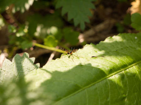 a winged flying insect large macro resting upon a forest leaf in spring light and day