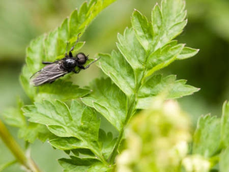 a black fly resting upon some leaves close up in the garden in spring waiting and feeding cleaning itself