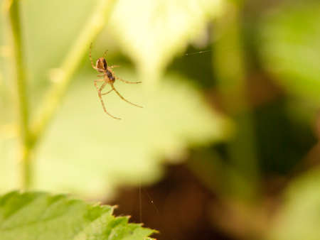 a spider hanging down near its web waiting for food flies insects and prey to eat shaded outside in the forest in spring plants